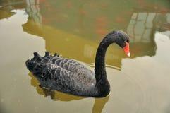 Black duck Stock Photos