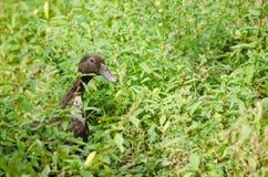 Black duck. Beautiful duck is find prey in the garden Stock Photos
