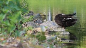 Black duck cleaning its feathers at a pond stock video footage