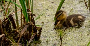 Black duck duckling in a pond. Eating plants on the surface Royalty Free Stock Photo