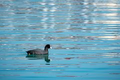 Black duck Eurasian coot Fulica atra is swimming in blue water stock image