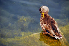 Black Duck grooming Stock Photo