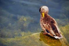 Free Black Duck Grooming Stock Photo - 3008310