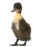 Black duck isolated Stock Images