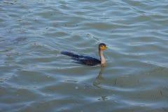 Black Duck Stock Image