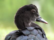 Black duck. Looking the lake Stock Photo