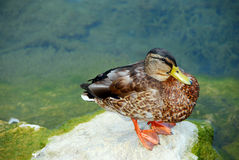 Black Duck on a Rock Stock Photo