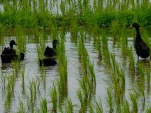 Black duck run on rice fields Royalty Free Stock Images