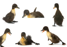 Black duck set Stock Photography