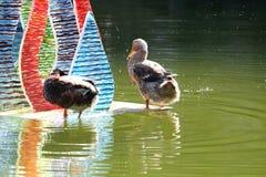 Black Duck Splashing. Black ducks splashing on the Water Royalty Free Stock Images