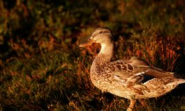 Black duck at sunset Stock Image