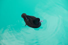 Black duck are swimming peacefully in salmon farm lake pukaki at south island new zealand.  Stock Images