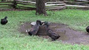 A Black Duck taking a Bath stock video footage
