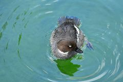 Black duck in the water stock photography