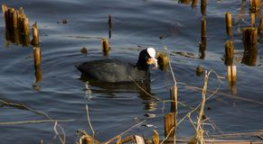 Black duck with a white head. Floats along the river Royalty Free Stock Photos