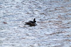 A black duck with a white head. Swimming in a lake Royalty Free Stock Photo
