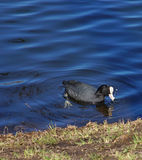 Black duck with a white spot on the head floating in a pond in a city park. Spring. Clear sunny day. Black duck with a white spot on the head floating in a pond Royalty Free Stock Photos