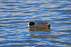 Black duck. Black wild duck Royalty Free Stock Photos