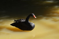 Black duck Royalty Free Stock Image