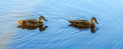 black duckar Stillahavs- Royaltyfria Bilder