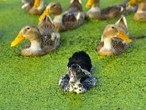 A black ducks Royalty Free Stock Photo