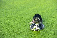 A black ducks Royalty Free Stock Photo