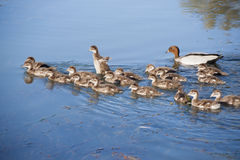 Black ducks with 18 chicks Royalty Free Stock Photography