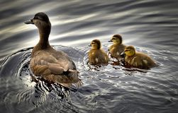 Black Ducks, Ducklings, Bird, Water Stock Photography