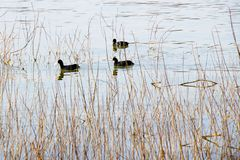 Black ducks floating on the water, through river vegetation. Three black ducks floating on the water, seen through the river vegetation grass stock image