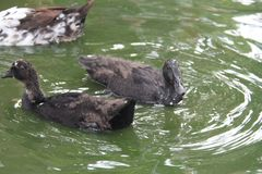 Black Ducks Swimming in a Pool. Black feathered ducks swimming in a pool of water stock photography