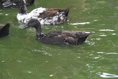 Black Ducks Swimming in a Pool. Black feathered ducks swimming in a pool of water royalty free stock photo