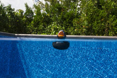 Black ducky. Black rubber duck floating in a pool Royalty Free Stock Images