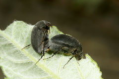 Black dung beetle Royalty Free Stock Images