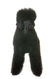 Black dwarf poodle Stock Photos