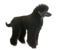 Black dwarf poodle Stock Photo
