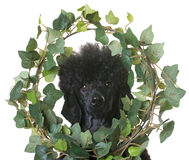 Black dwarf poodle Royalty Free Stock Photography