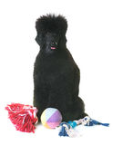 Black dwarf poodle Stock Images