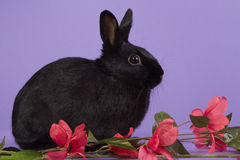 Black dwarf rabbit on purple background. With pink flowers Royalty Free Stock Photo