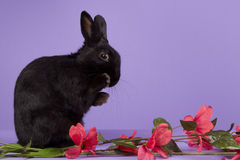 Black dwarf rabbit on a purple background Royalty Free Stock Images