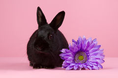 Black dwarf rabbit with purple flower. On a pink background Royalty Free Stock Image