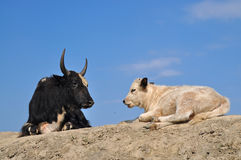 Black dzo and white calf lying on the hill Royalty Free Stock Images