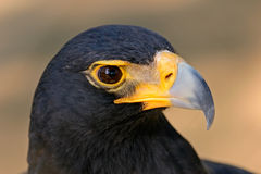Black eagle. Portrait of a black eagle (Aguila verreauxii), South Africa royalty free stock image