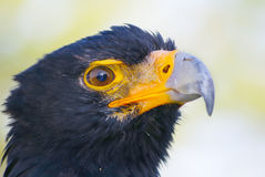 Black Eagle Stock Photography