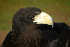 Black eagle Royalty Free Stock Photo