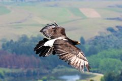 Black eagle in flight royalty free stock photography