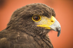 Black eagle head, european bird Royalty Free Stock Photo
