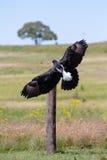 Black eagle Royalty Free Stock Images