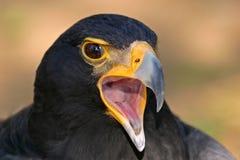 Black eagle portrait. Portrait of a black eagle (Aguila verreauxii), South Africa stock photo