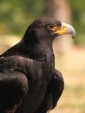 Black eagle Royalty Free Stock Photography