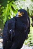 Black eagle portrait Royalty Free Stock Photos